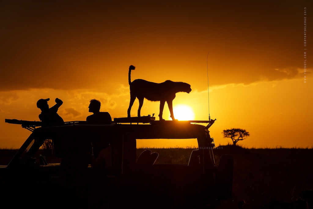 Photographic Safaris, Wildlife Photography, Golden Light, Big Cats