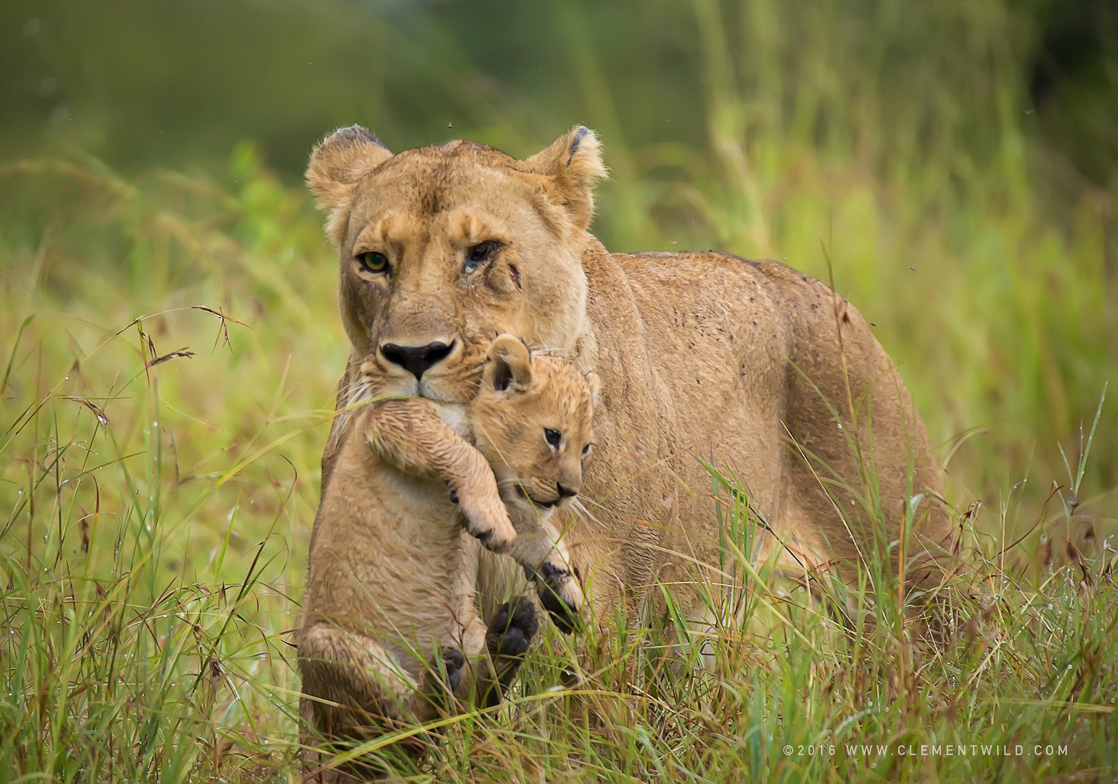 Wildlife Photography, Photographic Safaris, Clement Wild, Masai Mara, Big Cats, Lions
