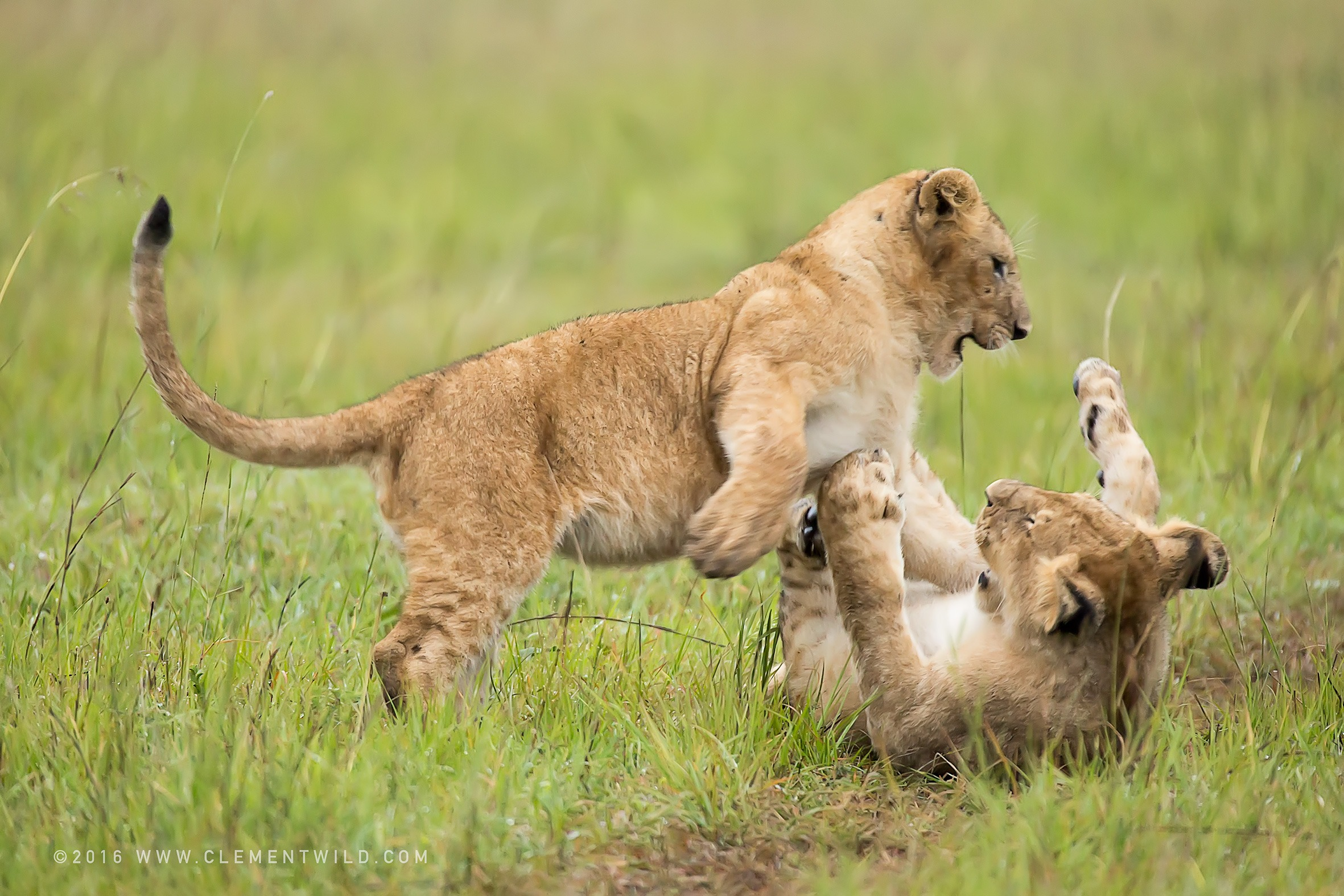 Big Cats, Lioness, Cubs, Wildlife Photography, Photographic Safaris, Clement Wild, Masai Mara