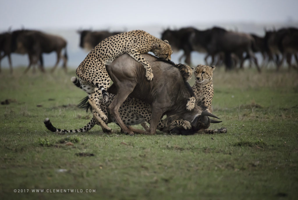 Big Cats, Wildlife Photography, Photo Safaris, Cheetahs, Masai Mara, Nairobi, Kenya, Africa, Clement Kiragu, Clement Wild