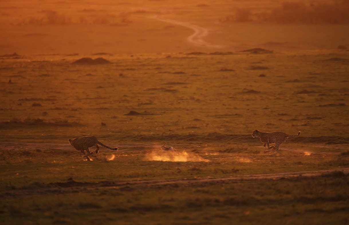 Two cheetahs hunting a rabbit in golden light as captured by photo tour leader ClementWild