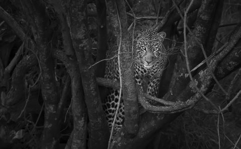 Clement Kiragu Photography - Wildlife Photography - Big Cats - Black and White