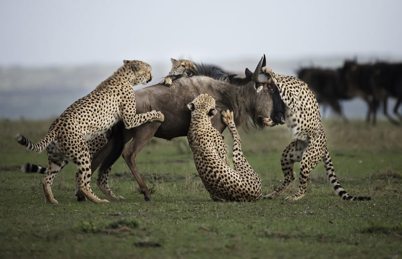 Clement Kiragu Photography - Wildlife Photography - Big Cats 2
