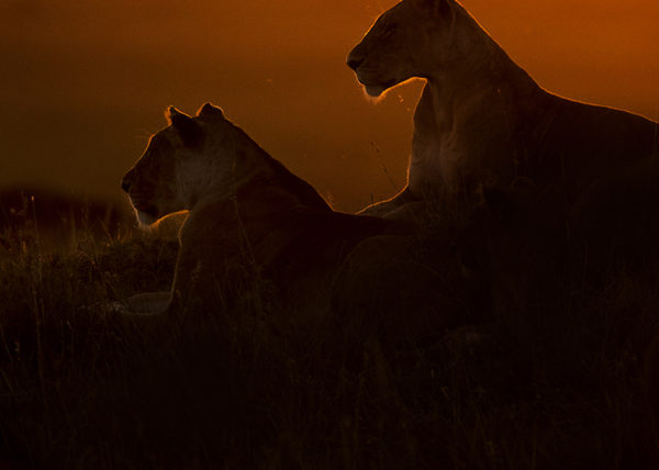 Clement Kiragu Photography - Lions - Wildlife Photograhy - Clement Wild