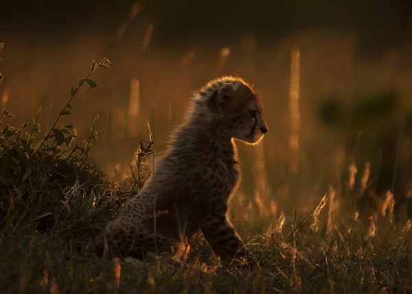 Focused - Big Cats - Cheetah Cub - ClementWild - Wildlife Photography