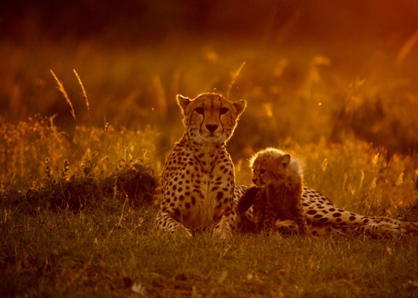 Focused - Big Cats - Cheetah and Cub - ClementWild - Wildlife Photography