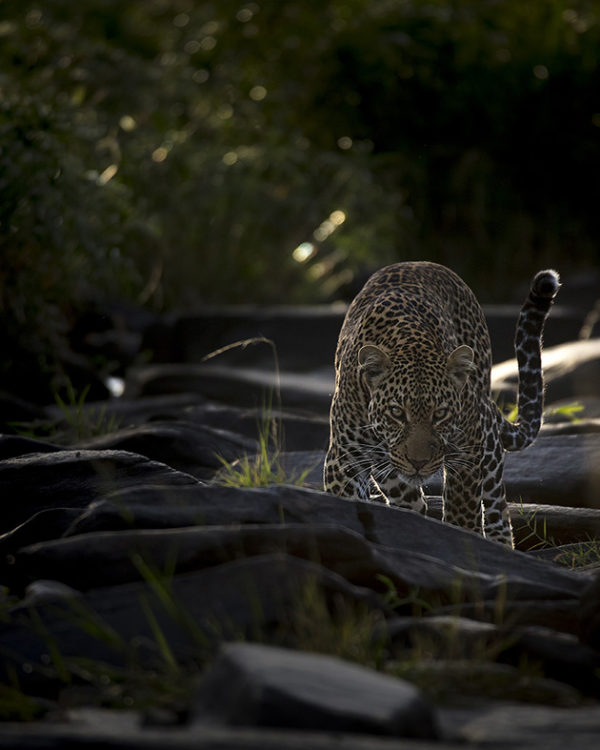 Stalk in Good Light - Clement Kiragu Photography - Wildlife Photography