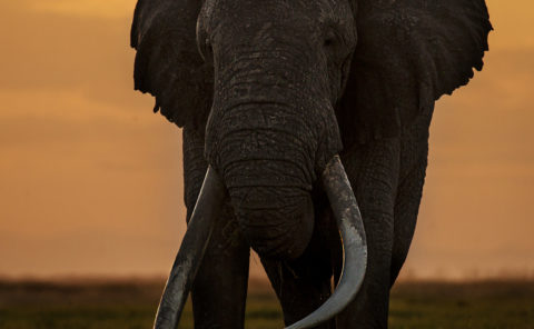 Clement Kiragu Photography - Elephant - Photographic Safaris