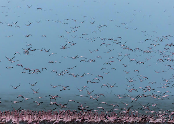Clement Kiragu Wildlife Photography, Flamingo Migration in Kenya Drone - Photographic Safaris