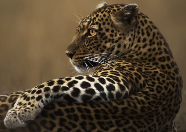 The Pose - Big Cats -Cheetah - Clement Kiragu