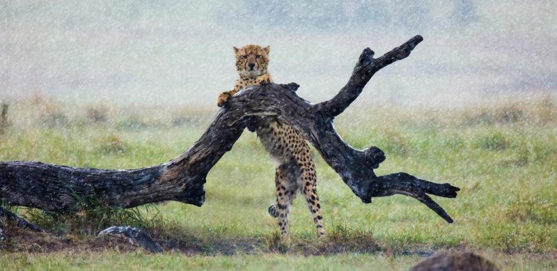 Cheetah standing on a log in heavy rain in Maasai mara as captured by photo tour leader ClementWild