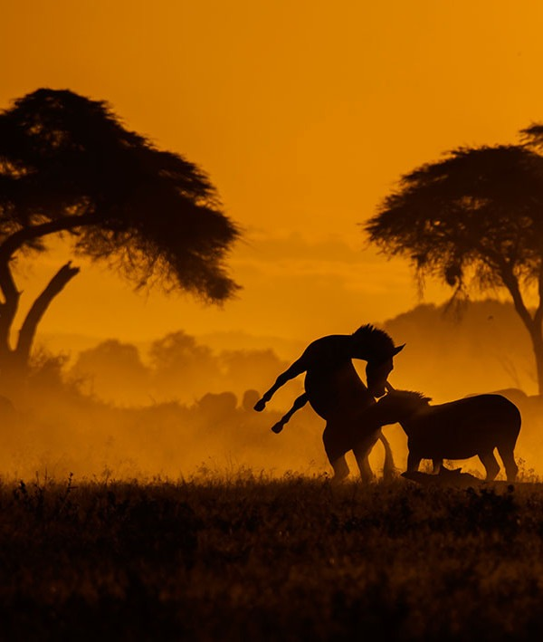Silhouette of two Zebras playing in golden light as captured by wildlife photographer and tour leader ClementWild