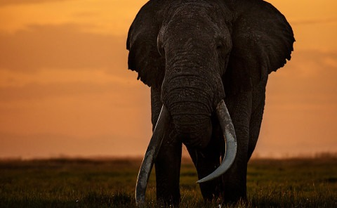big tusker elephant shot in Amboseli Kenya by clement wild