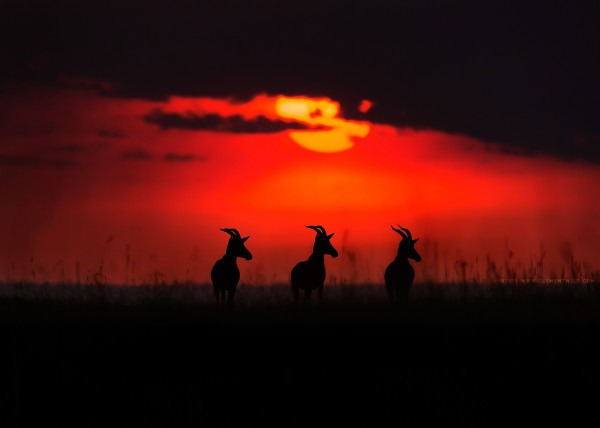 3 topis at sunset facing same direction as captured by wildlife photographer Clement Kiragu