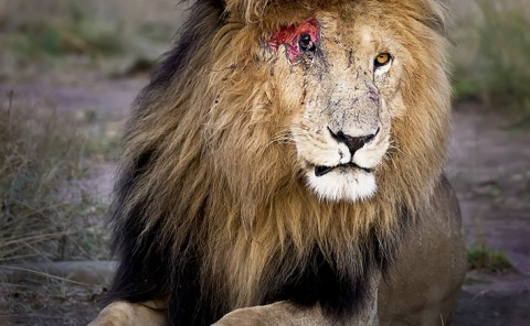 Lion with fresh scar wound in Maasai mara as captured by wildlife photographer Clement Kiragu