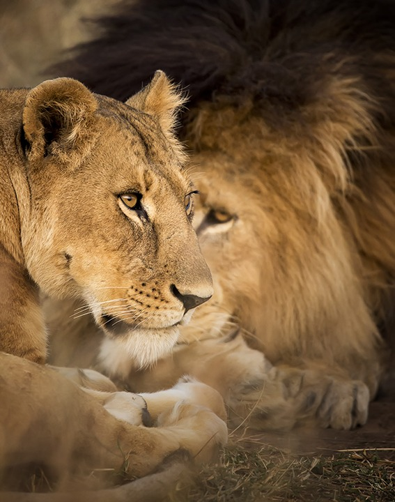 Male lion with intense eye on his lioness as captured by photo tour leader Clement Wild