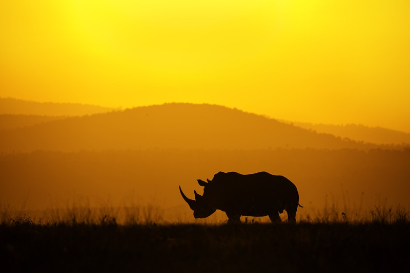 Silhouette of a rhino at Solio ranch Kenya as captured by photo tour leader Clement Wild