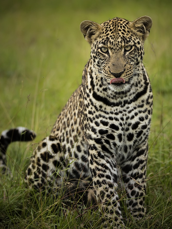 Portrait of a leopard with tongue out