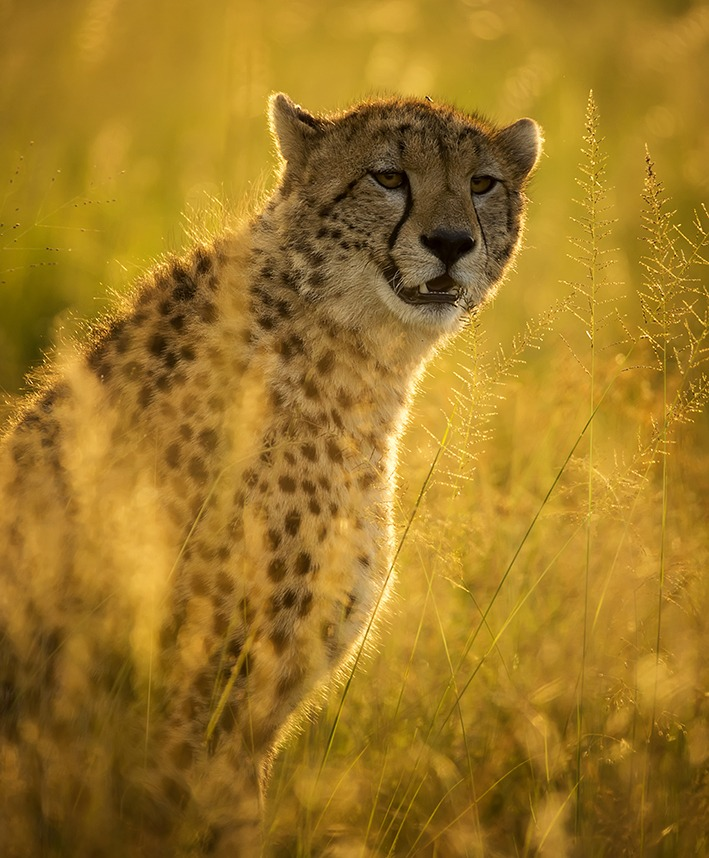 Portrait of a cheetah in golden light as captured by photo tour leader Clement Wild