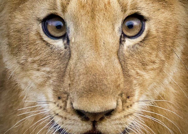 Portrait of a lion cub as captured by photo tour leader Clement Wild