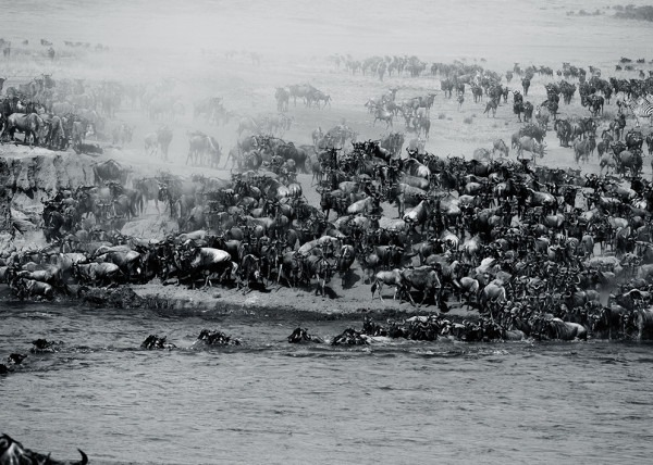 Hundreds of wilderbeests gather at the mara river during the great wildebeest migration as captured by photo tour leader Clement Wild