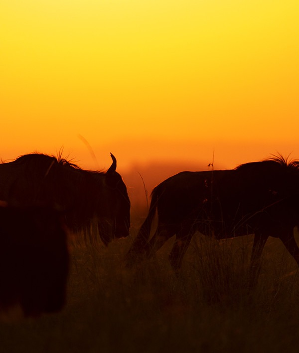 Silhouette of wildebeests as captured by photo tour leader Clement Wild