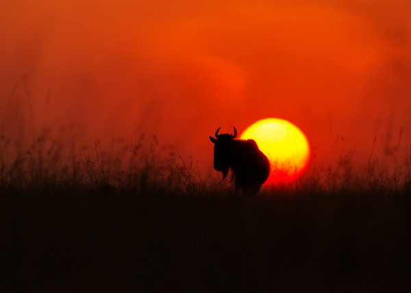 Silhouette image of a wildebeest with the setting sun behind it