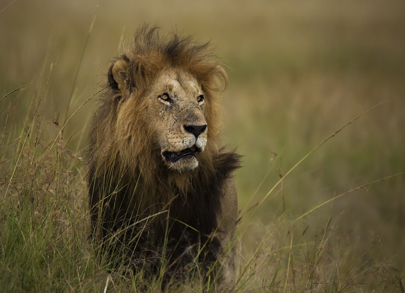Notch II the lion in beautiful Maasai Mara as captured by Clement Wild