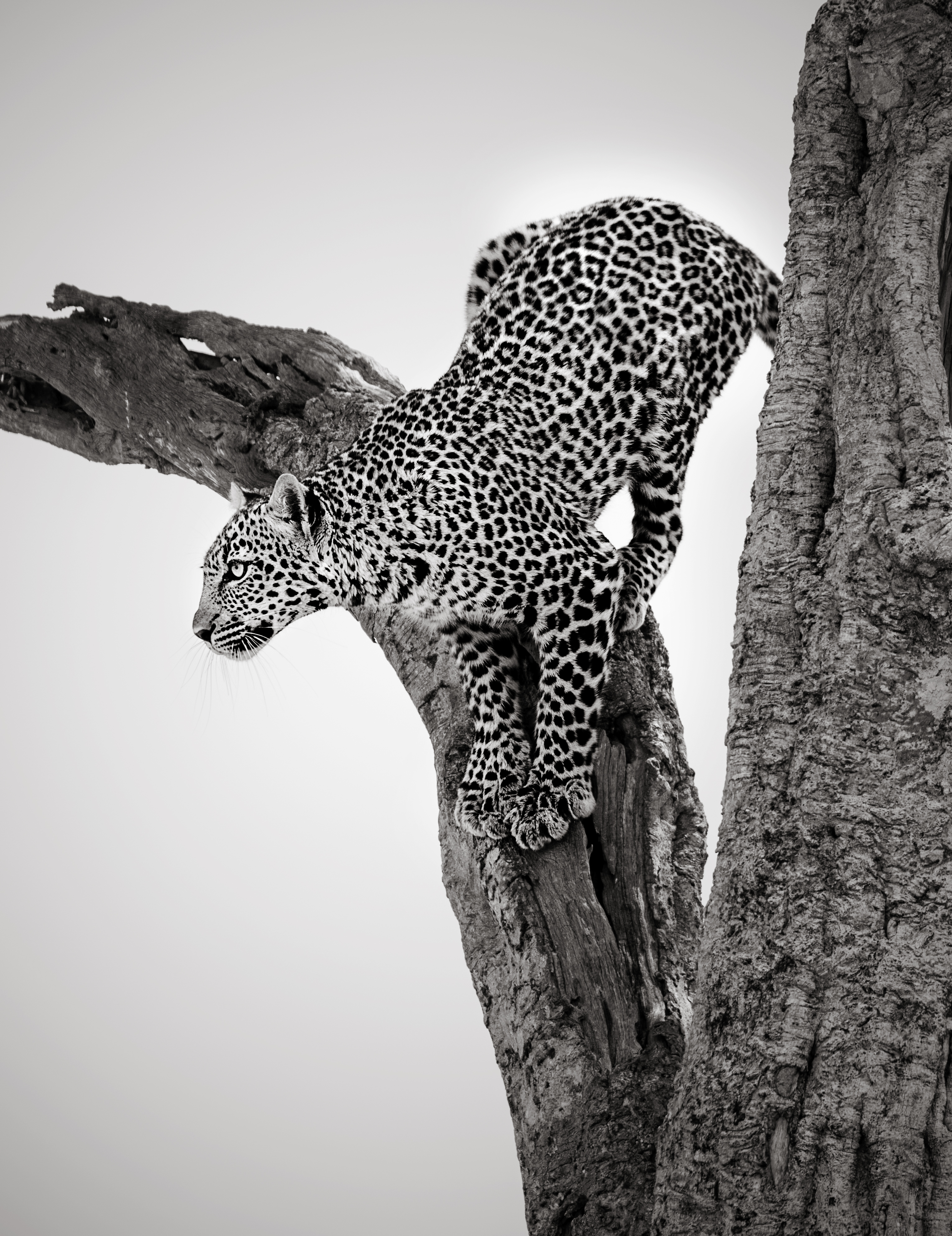 Black and white of a leopard on a tree looking at prey as captured by wildlife photographer ClementWild on his photo safari