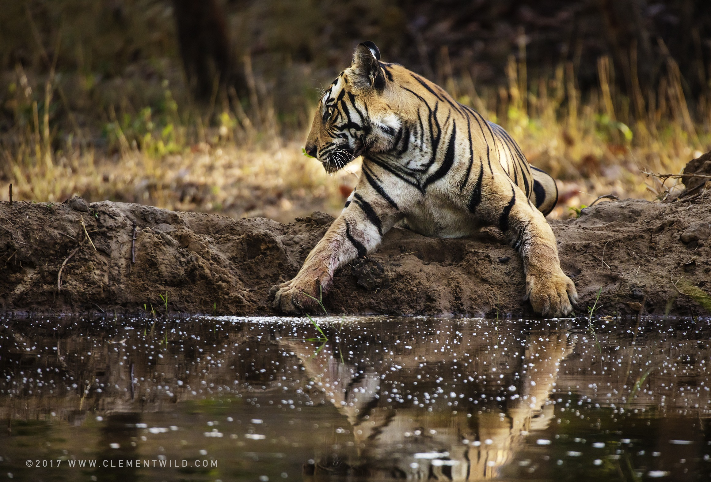 Tiger reflection in Bandhavgarh National Park India as captured by wildlife photographer ClementWild on his photo safari