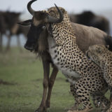 Wildebeest staring at death as a cheetah tries to bring it down