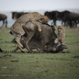 Cheetahs hunt and bring down a wildebeest as captured by wildlife photographer and photo tour leader Clement Kiragu