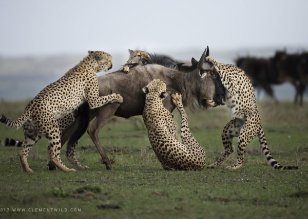 Winning image of cheetahs hunting wildebeest as captured by Africa's Photographer of the year 2017 Clement Kiragu