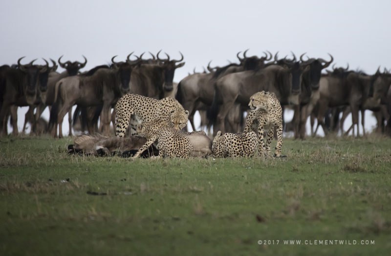 Cheetahs standing over a dead wildebeest with other wildebeests in the background watching