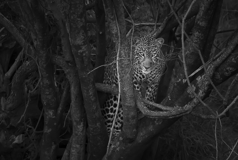 Black and white image of Leopard emerging from a dark bush with trees as captured by photo tour leader ClementWild
