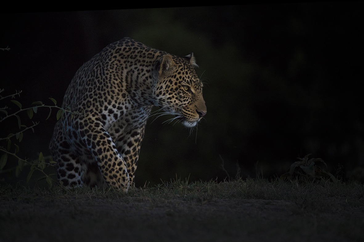 Leopard in stalking mode in a dark background as captured by photo tour leader ClementWild