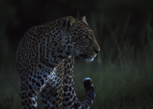 Leopard with sharp stare in the last light of the evening as captured by photo tour leader ClementWild
