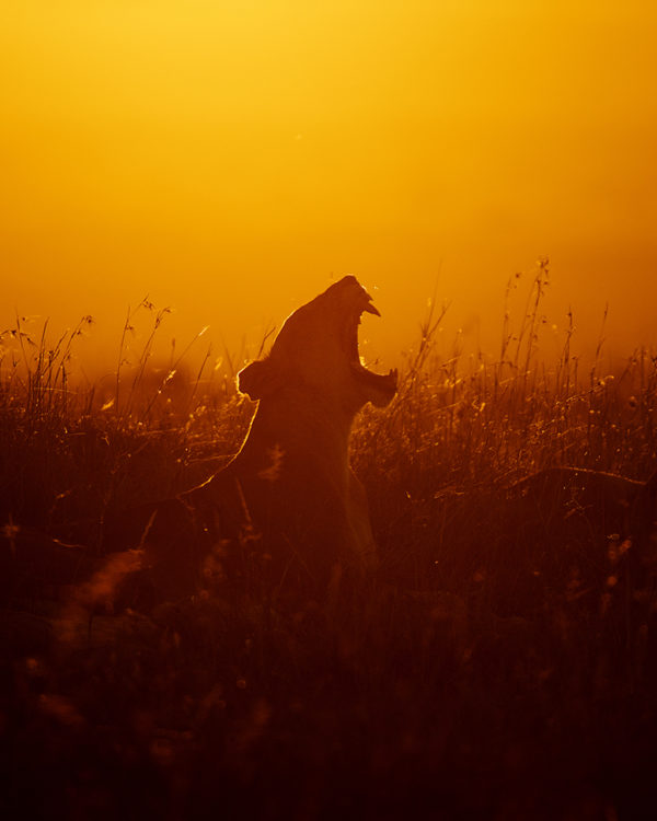 Fierce Silhouette of Lioness with open mouth showing teeth in golden light as captured by photo tour leader ClementWild