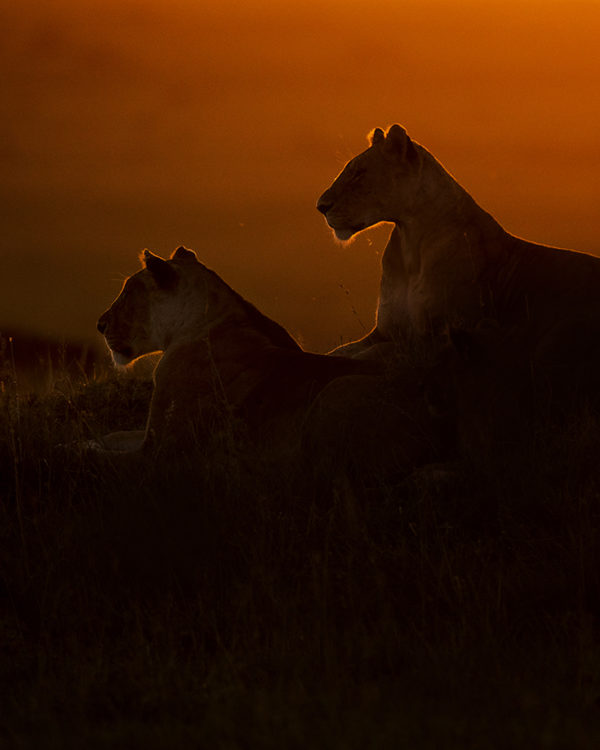 Silhouette of Lionesses in golden light as captured by photo tour leader ClementWild