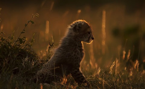 A curious cheetah cub portrait in golden light as captured by photo tour leader ClementWild