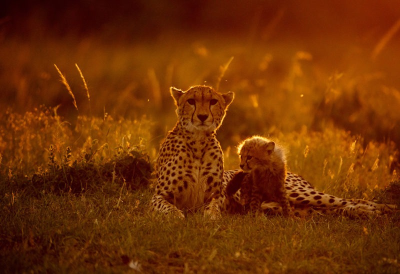 Cheetah with a cub in golden light in Maasai Mara as captured by photo tour leader ClementWild