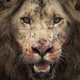 Fierce Portrait of a lion with blood on its mouth as captured by photo tour leader ClementWild