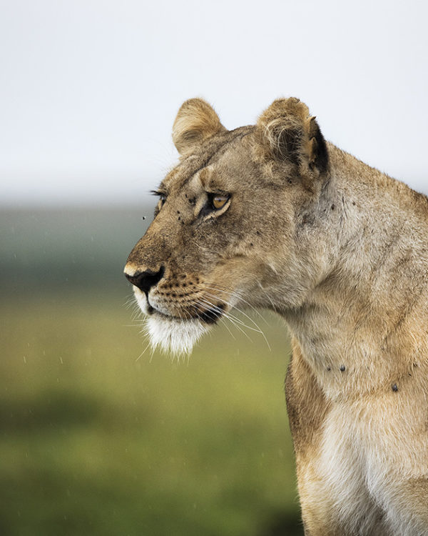 A sharp lioness focussed on prey in Maasai Mara as captured by photo tour leader ClementWild