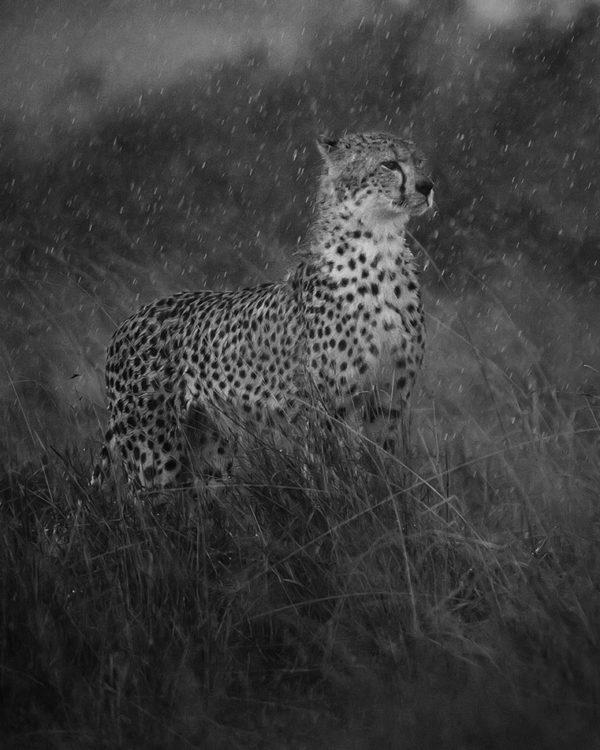 Malaika the cheetah in heavy rain as captured by photo tour leader ClementWild