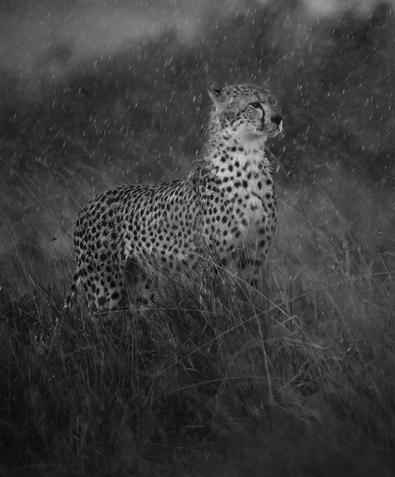 Malaika the cheetah in heavy rain as captured by photo tour leader ClementWild