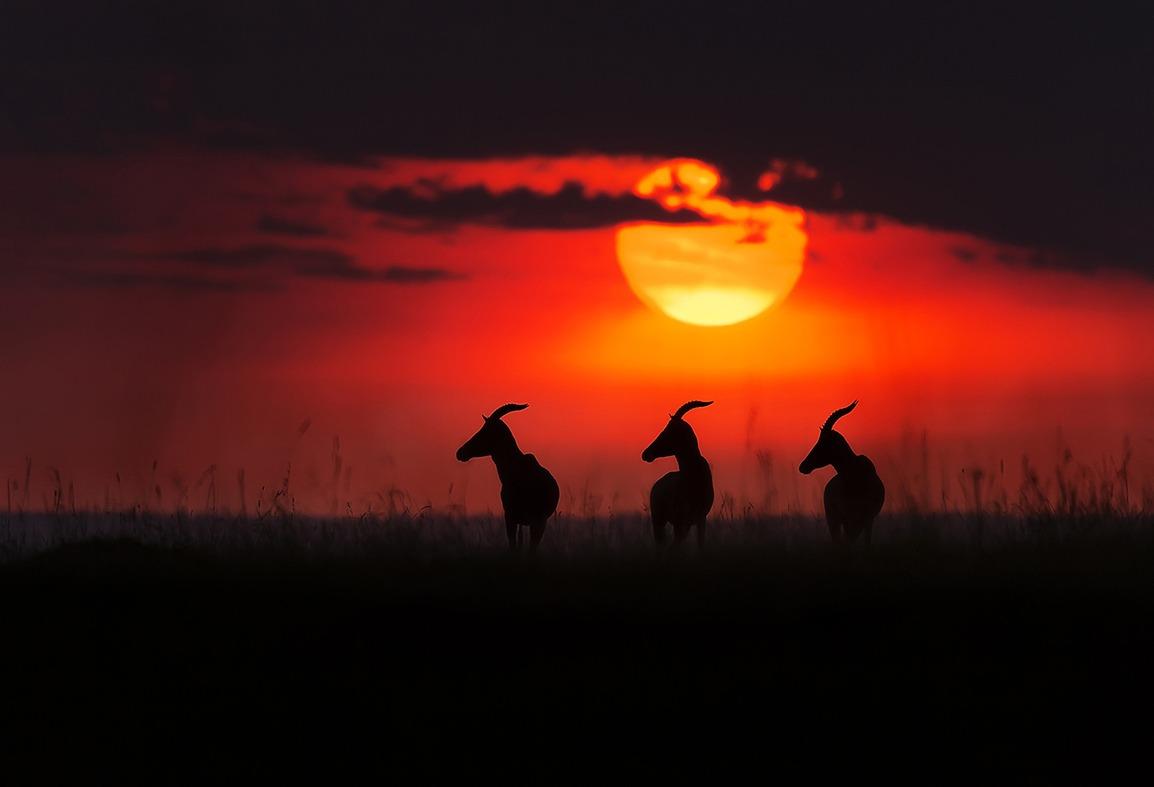 3 topis at sunset facing same direction as captured by wildlife photographer Clement Kiragu