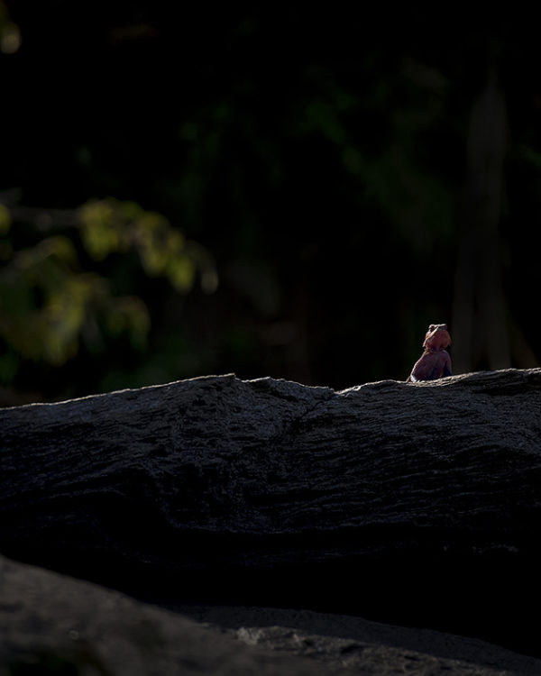 Majestic Agama on a rock in beautiful morning light as captured by photo tour leader ClementWild