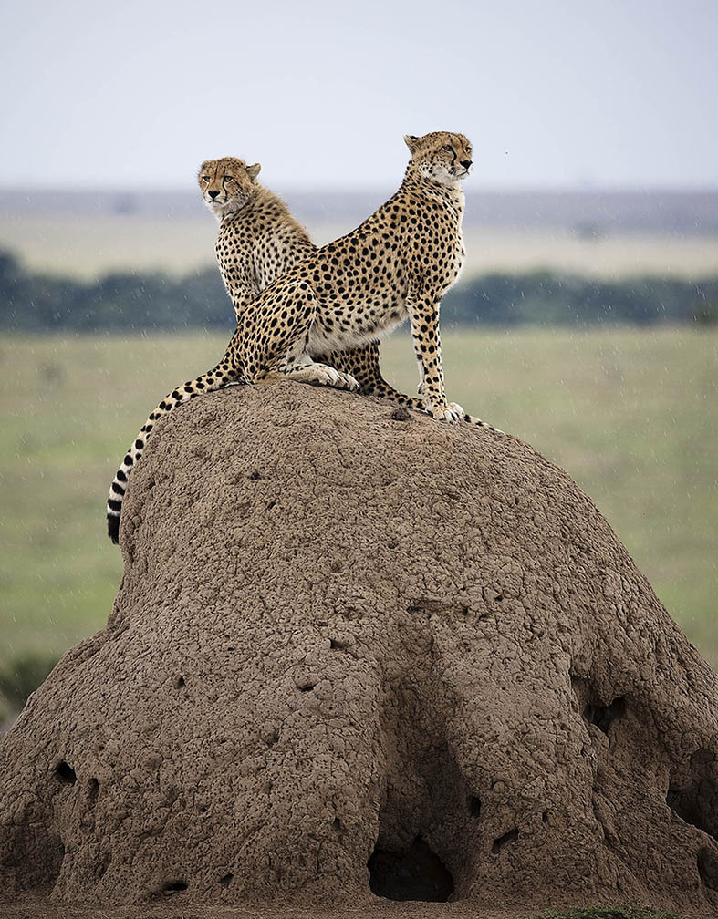2 cheetahs on a termite hill looking in different directions as captured by photo tour leader ClementWild