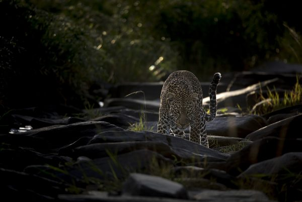 A leopard in stalking pose in beautiful morning light in Maasai Mara as captured by Photo tour leader ClementWild