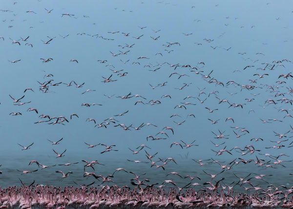 Flying flamingoes fill the frame of wildlife photographer Clement Kiragu